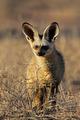 Bat-eared fox - PhotoDune Item for Sale