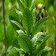 Tobacco Plant 3 - VideoHive Item for Sale