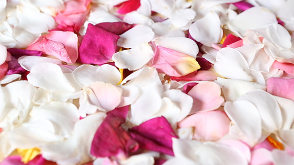Carpet of Rose Petals