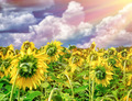 Beautiful sunflowers field in sunset - PhotoDune Item for Sale