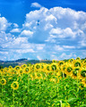 Beautiful sunflowers field - PhotoDune Item for Sale