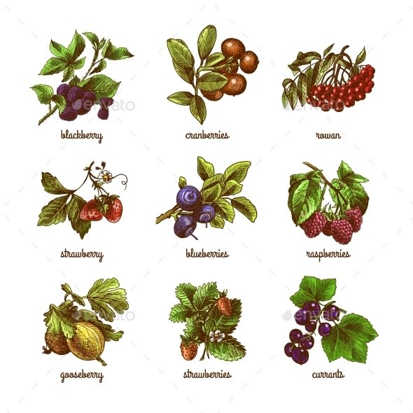 GraphicRiver Sketch Berries Colored Set 9043509