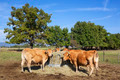 A group of cows - PhotoDune Item for Sale