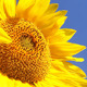 Sunflowers 6 - VideoHive Item for Sale