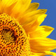 Sunflowers 8 - VideoHive Item for Sale