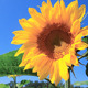Sunflowers 13 - VideoHive Item for Sale