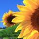 Sunflowers 15 - VideoHive Item for Sale