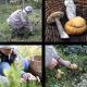Mushrooms Hunting Orange-Cap Boletus - VideoHive Item for Sale