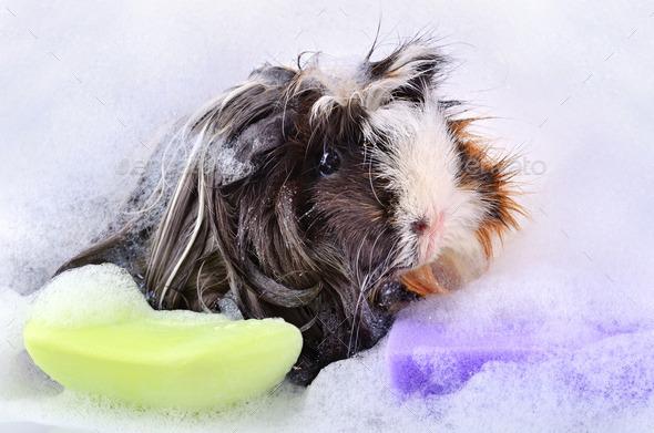 Cute guinea pig in bath