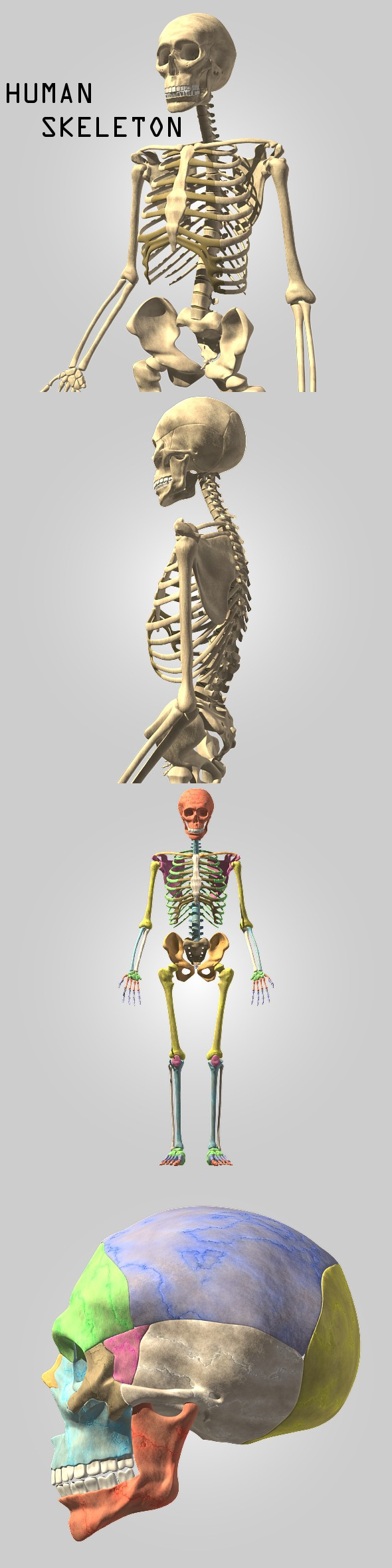 Human skeleton - 3DOcean Item for Sale