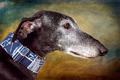 Greyhound dog - PhotoDune Item for Sale