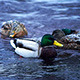 Ducks in Winter River - VideoHive Item for Sale