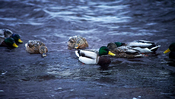Ducks in Winter River