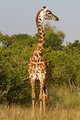 Full portrait of a giraffe