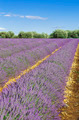 Lavender field with blue sky - PhotoDune Item for Sale