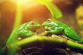 Two green frogs sitting on leaf looking on each other - PhotoDune Item for Sale