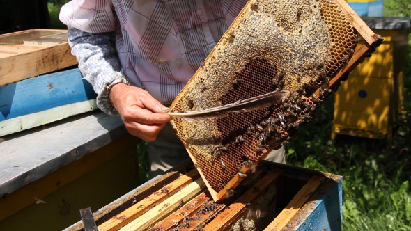 Beekeeper Working on Beehive with Honeycombs