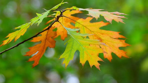 Autumn Foliage 9