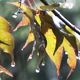Autumn Rain - Maple Trees - 1 - VideoHive Item for Sale