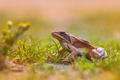 Agile Frog (Rana dalmatina) in Grass with Flowers - PhotoDune Item for Sale