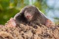 Wild Mole (Talpa europaea) in Natural Environment on a Molehill - PhotoDune Item for Sale