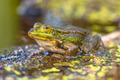 Green Frog Outdoor - PhotoDune Item for Sale
