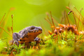 Male Alpine Newt Walking through a Field of Moss - PhotoDune Item for Sale