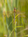 Dragonfly Perching on Plant - PhotoDune Item for Sale