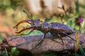 Stag Beetle on a log - PhotoDune Item for Sale