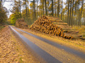 Stacks of Timber in a Yellow Colored Larch Forest - PhotoDune Item for Sale