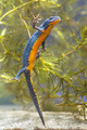 Female Alpine Newt Swimming through Vegetation - PhotoDune Item for Sale