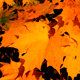 Forest Autumn Maple 2 - VideoHive Item for Sale