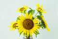 Bright yellow sunflowers - PhotoDune Item for Sale