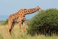 Masai giraffe - PhotoDune Item for Sale