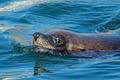 Brown fur seal - PhotoDune Item for Sale