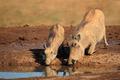 Warthogs drinking - PhotoDune Item for Sale