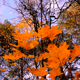 Forest Autumn Maple 3 - VideoHive Item for Sale
