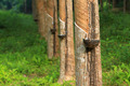 Rubber tree, Thailand - PhotoDune Item for Sale