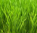 Wheatgrass - PhotoDune Item for Sale