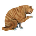 Red Tabby Cat  - PhotoDune Item for Sale