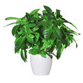 sprout of gardenia a potted plant isolated over white - PhotoDune Item for Sale
