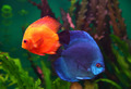 red and blue discus fish - PhotoDune Item for Sale