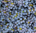 blue grapes background - PhotoDune Item for Sale