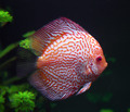 spotted red discus fish - PhotoDune Item for Sale
