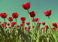 red tulips - vintage retro style - PhotoDune Item for Sale