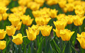 field of yellow tulips blooming - PhotoDune Item for Sale