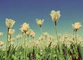 white tulips - vintage retro style - PhotoDune Item for Sale