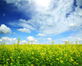 beautiful flowering rapeseed field under blue sky - PhotoDune Item for Sale