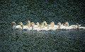 young geese swimming on lake - PhotoDune Item for Sale