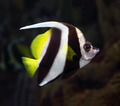 pennant coralfish underwater - PhotoDune Item for Sale